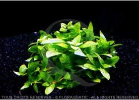 Plante in vitro - Staurogyne Repens