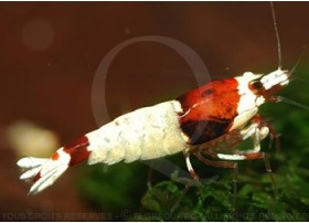 Caridina cf. cantonensis - Taiwan Bee Mosura Red