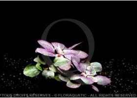 Plante in vitro - Lobelia Cardinalis var Petite