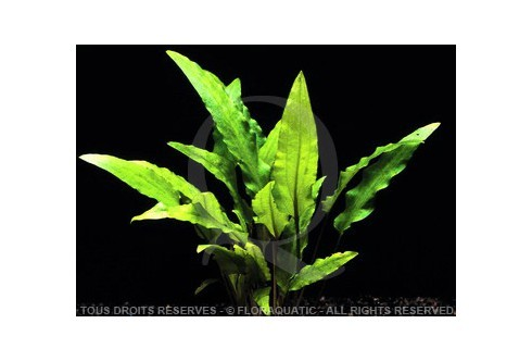 FloraVitro - Cryptocoryne Wendtii Green