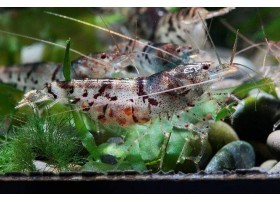 Caridina sp. Camouflage Tiger