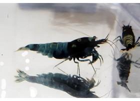 Caridina cf. cantonensis - Pinto Bee Blue