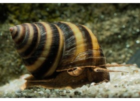 Taia naticoides - Piano Snail