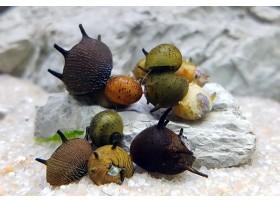 Clithon colorata assortis