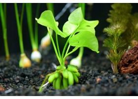 Nymphoides aquatica - Plante banane