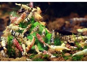 Caridina cf. cantonensis - Taitibee Mix