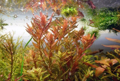 Rotala sp. coin leaf