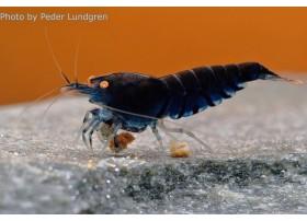 Caridina cf. cantonensis - Tiger Blue Deep Orange Eyes