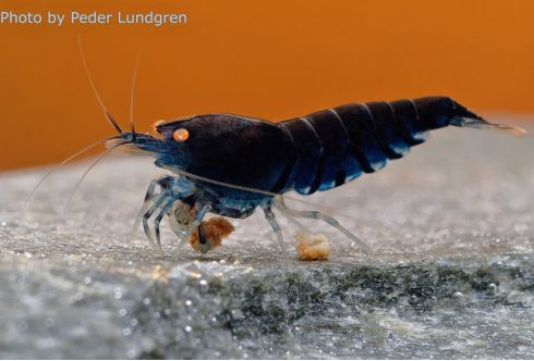 Caridina cf. cantonensis - Tiger Blue Deep Orange Eyes
