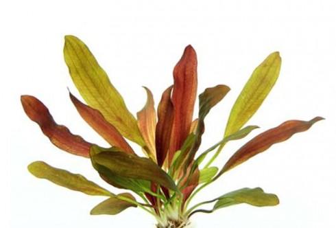 Echinodorus Red Chameleon