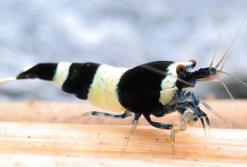 Lot de 5 : Caridina cf. cantonensis - Taiwan Bee Black