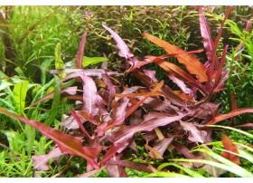 Persicaria praetermissa Ruby