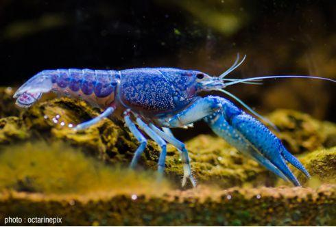 Procambarus alleni bleue