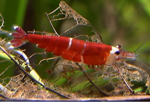 Caridina cf. cantonensis - Red Crystal CRS Super Red