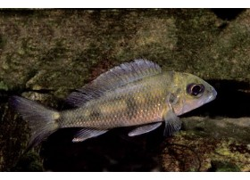 Mtosi, Argenté, 5-6cm