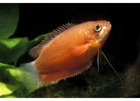 Gourami à grosses lèvres, Rouge, 5-6cm