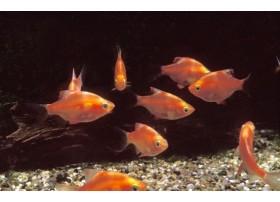 Barbus de Sumatra, Rouge, 3-4cm