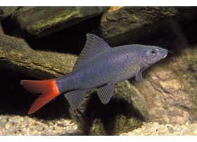 Labeo bicolor, Bicolor, 5-6cm