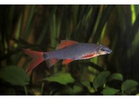 Labeo gris, Gris et rouge, 5-6cm