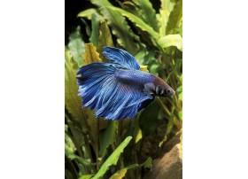 Combattant, Bleu, 6cm, Mâle