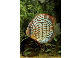 Discus , Ruby royal, 6-7cm