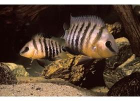 Cichlidé aux yeux bleus, Gris et noir, 4-5cm