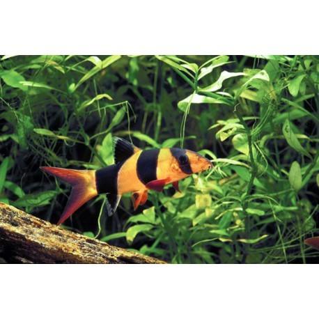 Loche-clown, Orange et noir, 6-7cm