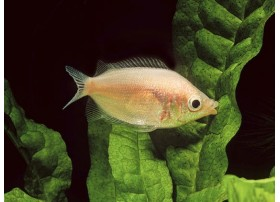 Gourami kissing, Rose pâle , 4-5cm