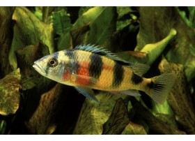 Haplochromis zebra obliquidens, jaune et noir, 5-6cm