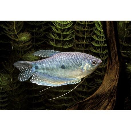 Gourami bleu, Bleu, 5-6cm