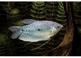 Gourami bleu, Bleu, 8-10cm
