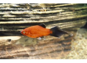 Platy, Spitz Wagtail rouge, 3-3,5cm