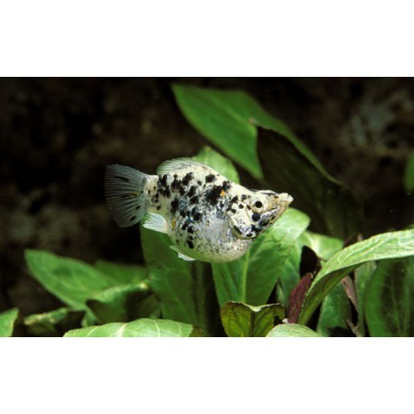 Molly Ballon, Dalmatien, 3-4cm