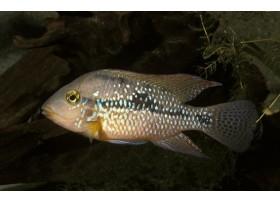Geophagus steindachneri hondae, Jaune, 4 à 5cm