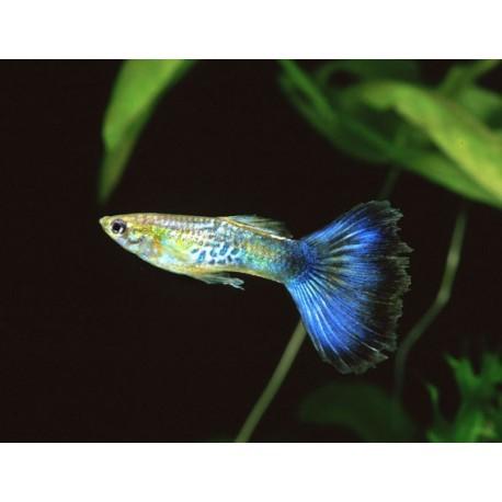 Guppy, Cobra bleu, 3,5-4cm