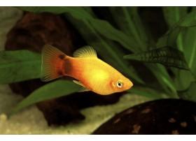 Platy, Mickey jaune brillant, 3-3,5cm