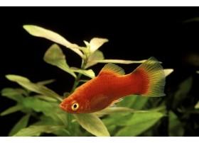 Platy, Corail rouge, 2,5-3cm
