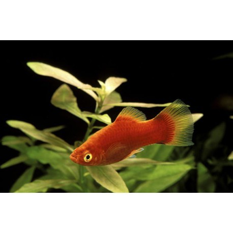 Platy, Corail rouge, 3-3,5cm