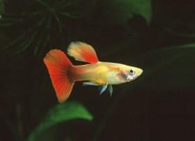 Guppy, Golden head red tail, + de 4,5cm, Mâle