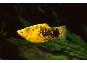 Platy, Calico jaune, 3-3,5cm