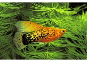 Platy-perroquet , Variatus orange gold , 4cm