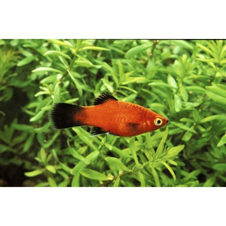 Platy, Wagtail rouge, 3-3,5cm