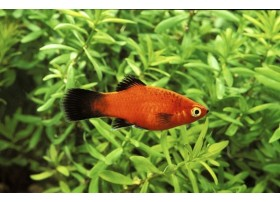 Platy, Wagtail rouge, 3,5-4cm