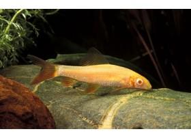 Labeo gris, Albinos, 5-6cm