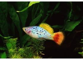 Platy-perroquet, Bleu varié, 3-3,5cm