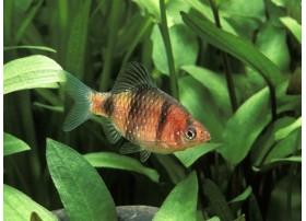 Barbus à tête pourpre, Strié de lignes sombres et rouge, 3-3,5cm