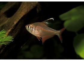 Hyphessobrycon bentosi, Rose, 1 à 2cm