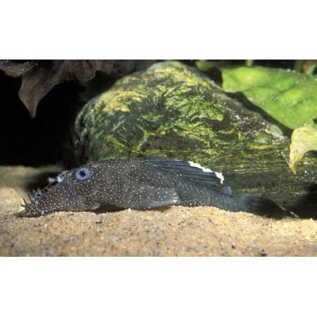 Ancistrus, Noir à points blanc, 5-6cm