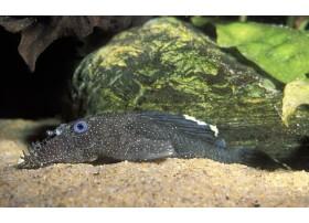 Ancistrus, Noir à points blanc, 7-8cm