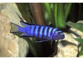 Pseudotropheus élongatus Neon Spot , bleu, 4 à 5cm